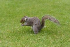 Popielata wiewiórcza łasowanie dokrętka Zdjęcia Royalty Free