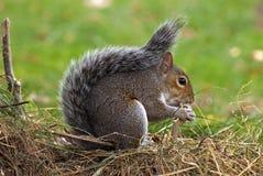 popielata wiewiórka Fotografia Stock
