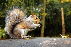 Popielata wiewiórka Obrazy Stock