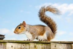 Popielata wiewiórka 1 Obraz Stock
