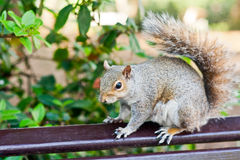 Popielata wiewiórka Zdjęcie Royalty Free