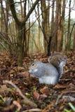 popielata wiewiórka Zdjęcia Royalty Free