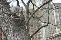 Popielata wiewiórka, central park, Nowy Jork, usa Obrazy Stock