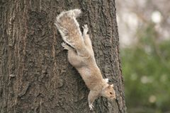 Popielata wiewiórka ściska drzewa obrazy royalty free
