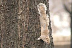 Popielata wiewiórka ściska drzewa zdjęcia royalty free