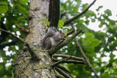Popielata wiewiórka na gałąź zdjęcie stock