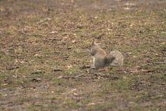 Popielata wiewiórka nieśmiała i ciekawa fotografia stock