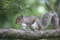 Popielata wiewiórka, Sciurus carolinensis Zdjęcie Stock