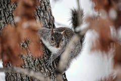 Popielata wiewiórka w drzewie Obrazy Royalty Free