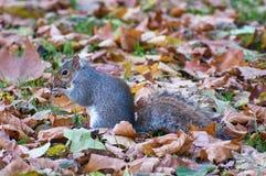 Popielata wiewiórka w Hyde parku - Londyn Zdjęcia Stock