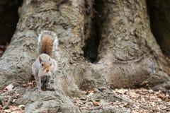 Popielata wiewiórka w parku obrazy stock