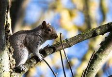 Popielata wiewiórka w Phoenix parku zdjęcia royalty free