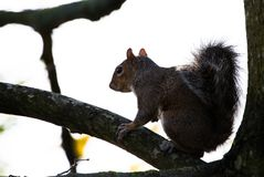 Popielata wiewiórka w Phoenix parku obrazy royalty free