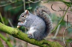 Popielata wiewiórka Zdjęcie Stock