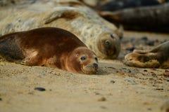 Popielate foki lounging na Horsey Gap plaży Obrazy Stock