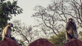 Popielate Langur małpy Fotografia Royalty Free