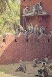 Popielate Langur małpy Zdjęcia Stock