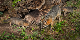 Popielatego Fox zestawów i lisic Urocyon cinereoargenteus Egzamininuje belę Zdjęcie Stock