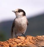 Popielatego Jay whisky Jack Ptasiego dopatrywania zwierzęcia przyroda Zdjęcie Stock
