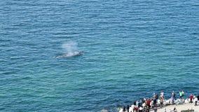 Popielatego wieloryba dopatrywanie Obrazy Stock