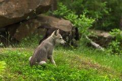 Popielatego wilka Canis lupus ciucia Siedzi Blisko meliny Zdjęcia Stock