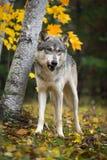 Popielatego wilka Canis lupus Liże kotleciki w jesieni drewnach zdjęcie royalty free