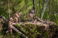 Popielatego wilka Canis lupus rodzina na skale obrazy stock