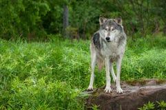Popielatego wilka Canis lupus stojaki na Rockowy Przyglądającym Out Fotografia Royalty Free
