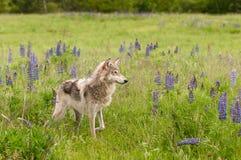 Popielatego wilka Canis lupus stojaki w Śródpolnej łapie Up Obraz Royalty Free