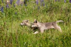 Popielatego wilka Canis lupus Szczeni się bieg Opuszczać Przez trawy Fotografia Stock