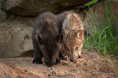 Popielatego wilka Canis lupus Szczeni się nosy Zestrzela Obraz Stock