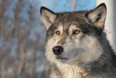 Popielatego wilka Canis lupus twarzy ucho Naprzód obrazy stock