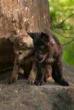 Popielatego wilka ciuć spojrzenia puszek z skały (Canis lupus) Obrazy Royalty Free