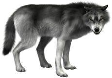 Popielatego wilka ilustracja Odizolowywająca, przyroda ilustracja wektor