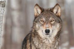 Popielatego wilka portret (Canis lupus) obrazy royalty free