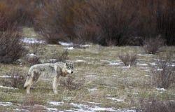 Popielatego wilka pozycja w trawie z bylicą Obrazy Royalty Free