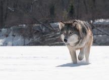 Popielatego wilka zakończenia Up badyl (Canis lupus) zdjęcia royalty free