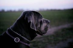 Popielatej trzciny Corso psi patrzeć dobro Zdjęcie Royalty Free