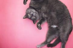 Popielaty śmieszny kota pozować Fotografia Royalty Free