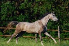 popielaty arabian koń Obrazy Stock