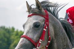 popielaty arabian koń Obraz Royalty Free