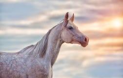 Popielaty Arabski koń Zdjęcia Royalty Free