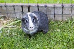 Popielaty & Biały aguti królik doświadczalny Zdjęcie Royalty Free