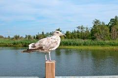 Popielaty brown seagull obsiadanie Obraz Royalty Free