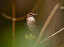 Popielaty Bushchat (Saxicola ferreus) Zdjęcie Royalty Free