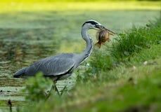 Popielaty Czapli łapanie ryba Zdjęcie Royalty Free