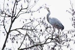 Popielaty czapli Ardea cinerea umieszczający na gałęziastej wysokości w górę drzewa Obraz Royalty Free