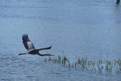 Popielaty czapli latanie nad wodą zdjęcia royalty free