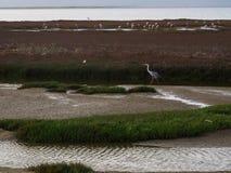 Popielaty czapli lub Ardea cinerea odprowadzenie wzdłuż bagien deponuje pieniądze z wetl Fotografia Royalty Free