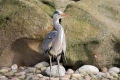 Popielaty Czapli ptak Ardea cinerea Zdjęcie Royalty Free